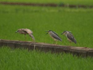 伸びする星ゴイ、怒る成鳥、ボーっとする若鳥