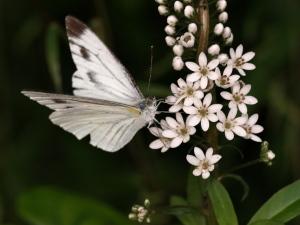(ノジ)トラノオのお花にきたスジグロシロチョウ