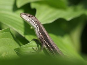 カナヘビ…