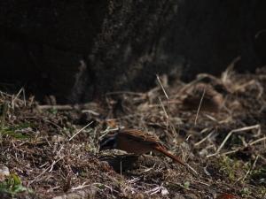 地上で雌と一緒に採餌してました…