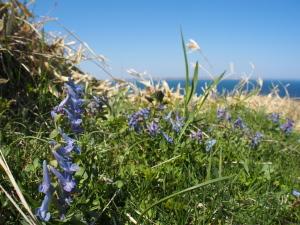 青いコリダリス…