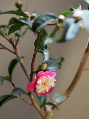 椿が咲き始めました…