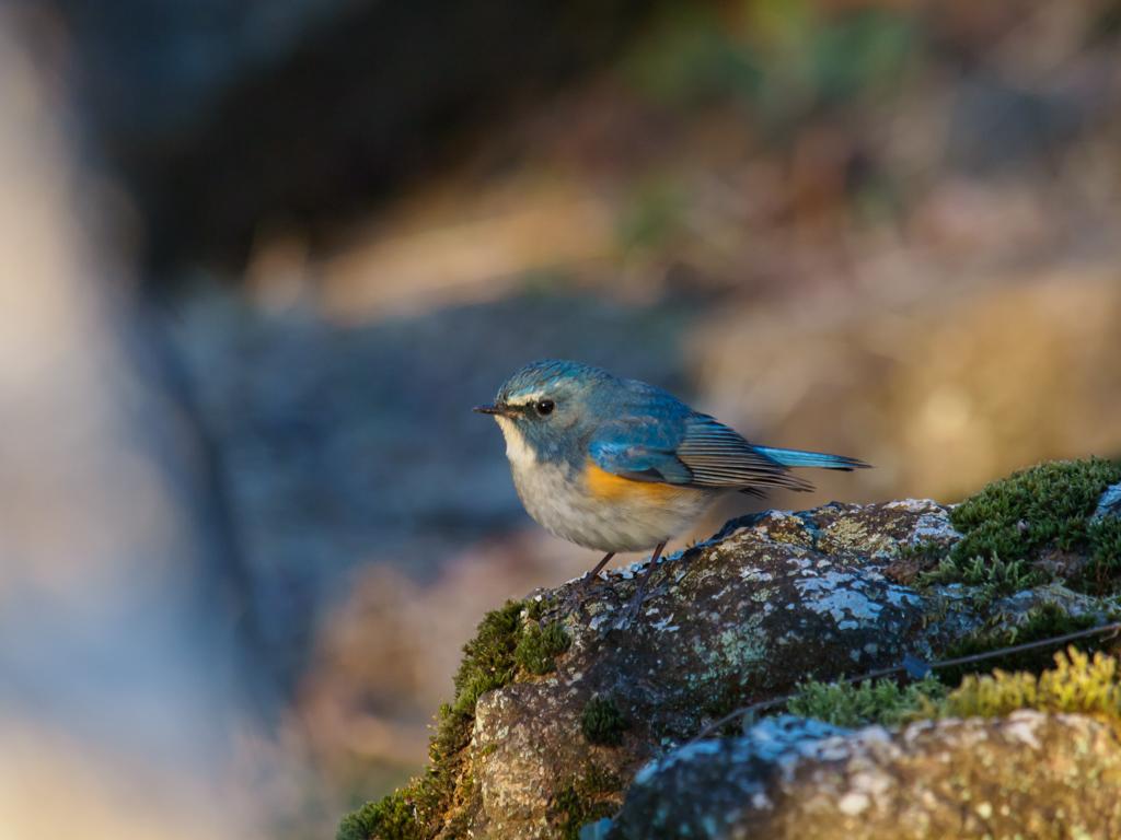 青い鳥…(ちょっと若いか…)