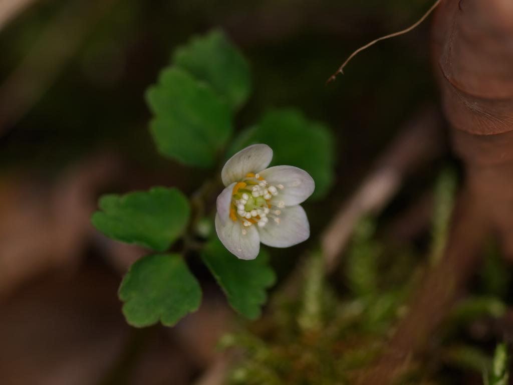 トウゴクサバノオ…かわいいお花です