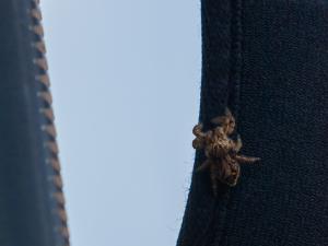 あまり見かけない模様のハエトリです…
